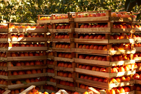 Agriculture and harvesting concept with fresh persimmon fruits in wooden boxes, farm garden with persimmon trees