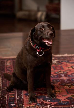 Chocolate Labrador dog portrait, indoors. 版權商用圖片