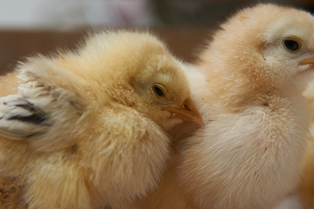 Newborn yellow baby chicks brood in a wooden box. Cute little broiler chickens  eats grain, close-up. Farming concept 写真素材