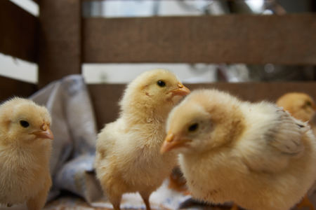Newborn yellow baby chicks brood in a wooden box. Cute little broiler chickens eats grain, close-up. Farming concept