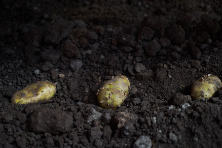 Planting potatoes in soil, close-up. Potato tubers and cultivator machine in furrows on a potato field. Agriculture , farming
