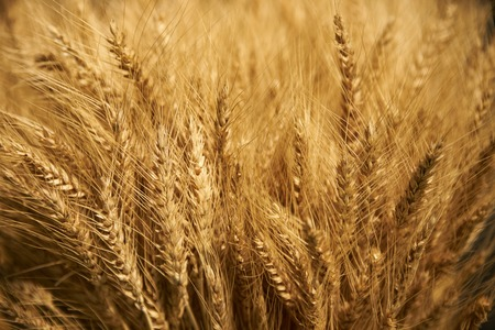 Ear of Wheat bundle, close-up. Ear of barley background, agriculture concept