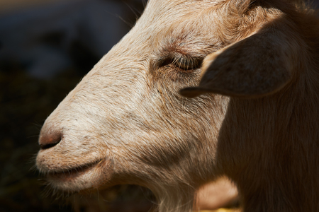 Goat in a farm wooden shed, close-up. Agriculture industry, farming and animal husbandry concept