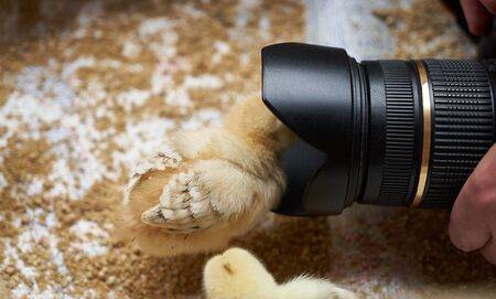 Taking photo of Newborn yellow baby chicks in a wooden box. Cute little broiler chicken got into the camera, close-up. Farming concept Stok Fotoğraf