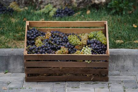 Wine making and winery concept, Fresh grape bunches for making wine, at vineyard Imagens