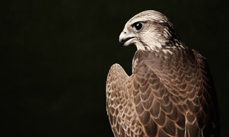 Falcon bird predator, close-up. Red Tailed Hawk portrait on dark green background with copy space.