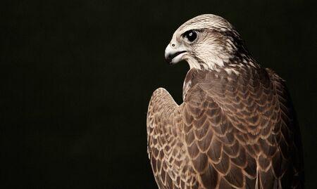 Falkenvogelraubtier, Nahaufnahme. Red Tailed Hawk-Porträt auf dunkelgrünem Hintergrund mit Kopienraum. Standard-Bild
