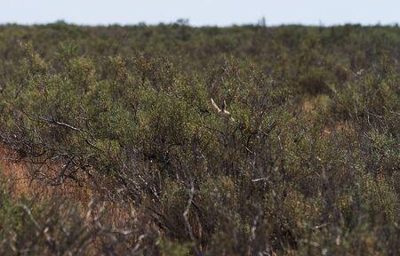 Springbok, sand gazelle (Gazella marica), Arabian Peninsula. Thomsons gazelle on savanna in National park