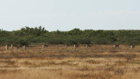 Thomsons gazelle on savanna in National park. Springbok, sand gazelle (Gazella marica), Arabian Peninsula
