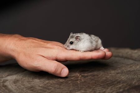 Small domestic hamster. Djungarian Dwarf hamster. Little pet hamster on a wood stump. Rodent
