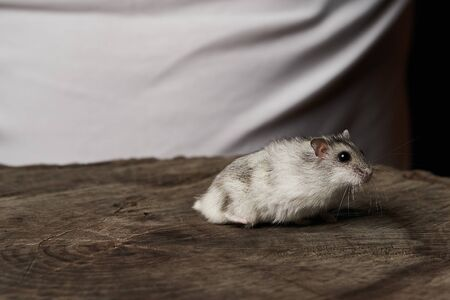 Small domestic hamster on hand. Djungarian Dwarf hamster. Play with little pet hamster on a wood stump. Rodent Stockfoto