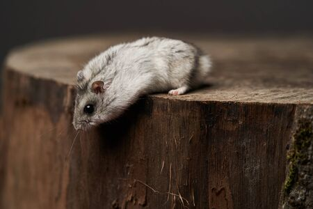 Little domestic hamster on hand. Djungarian Dwarf hamster. Play with pet small hamster on a wood stump. Rodent