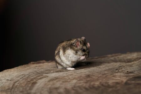 Little domestic hamster on grey background. Djungarian Dwarf hamster, close-up. Play with pet small hamster on a wood stump. Rodent Stockfoto