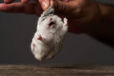 Kleine binnenlandse hamster bij de hand. Djungarian Dwerghamster. Speel met een kleine hamster op een houtstronk. Knaagdier