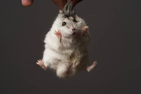 Pest control with hamster in hand, close-up. Little pet hamster as no Rodents concept, isolated on gray background Stok Fotoğraf