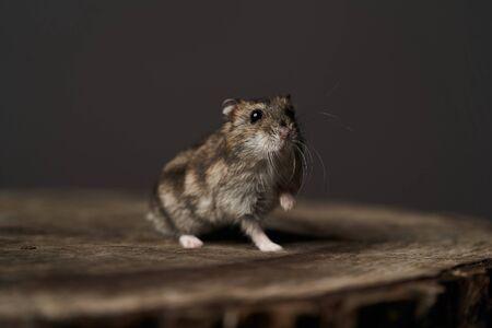 Kleiner Haushamster auf grauem Hintergrund. Dsungarischer Zwerghamster, Nahaufnahme. Spielen Sie mit einem kleinen Hamster auf einem Holzstumpf. Nagetier