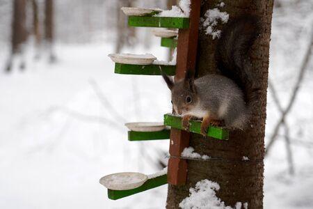 Wild squirrel portrait in winter forest. Red squirrel jumping on a tree Zdjęcie Seryjne