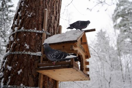 Wild doves in a winter forest. Feral pigeon (Columba livia domestica) perching on a birdhouse. Rock Pigeon in a snowy forest, close-up Zdjęcie Seryjne