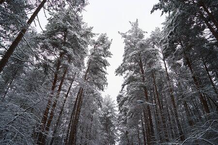 Winter forest trees background with snowy trees. Pine forest, winter season Zdjęcie Seryjne