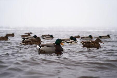 Wild Mallard ducks sitting in winter lake. Mallard ducks, migratory birds Zdjęcie Seryjne