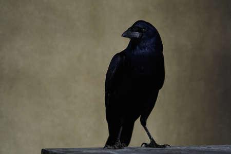Rook bird with glossy black plumage. Corvus frugilegus. Carrion Crow, Corvus corone