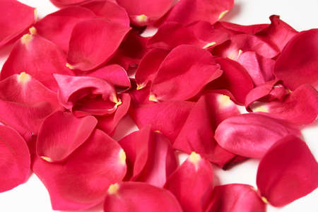 Pink roses petals on white background, close-up. Beautiful red rose flower petals. Valentines day flowers Foto de archivo
