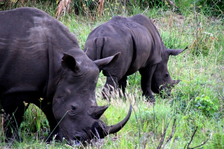 conservation grazing: Two Rhinos
