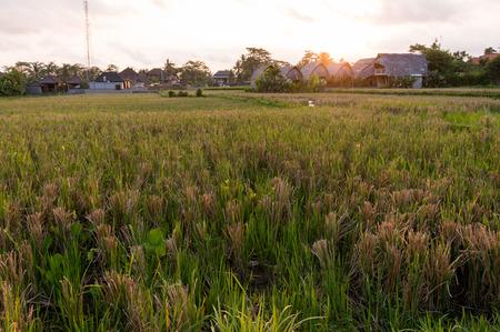 ubud: Sunset over a rice field in Ubud, Bali Stock Photo