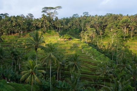 tegalalang: Tegalalang Rice Terrace in Ubud, Bali