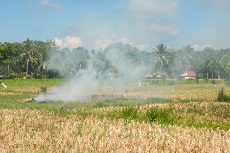 ricefield: Slash and Burn on a Ricefield in Ubud, Bali