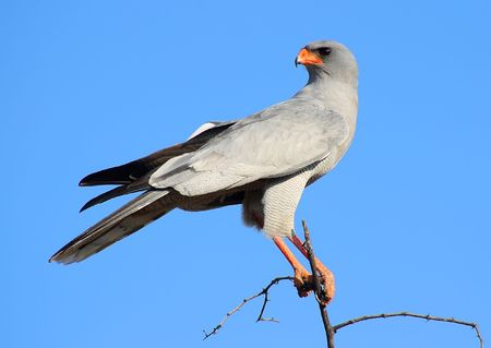 Southern pale chanting goshawk sitting in the top of a tree in Okonjima, Namibia.
