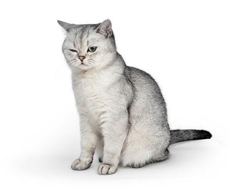 Portrait of Gray British Shorthair cat with one eye closed on white background Stock fotó