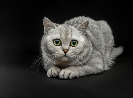 Portrait of Gray British shorthair cat with yellow eyes on a black background Stock fotó