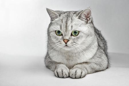 Gray British Shorthair. Portrait of British Shorthair cat lying on a gray background Stock Photo