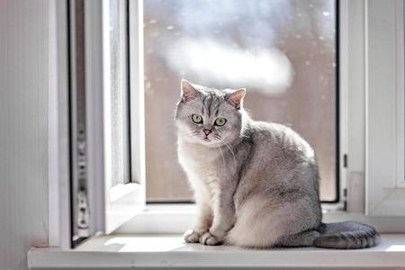 Gray British Shorthair cat is sitting on the window sill