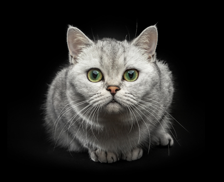 Portrait of Gray British shorthair cat with yellow eyes isolated on black background Stock Photo