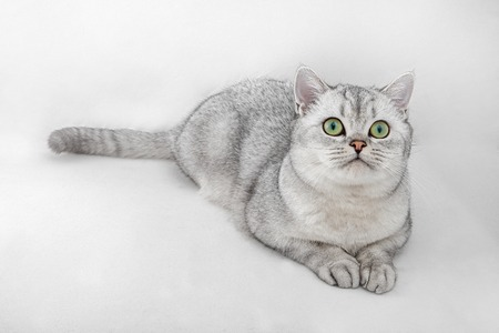 Portrait of Gray British Shorthair cat is looking up and isolated on white background