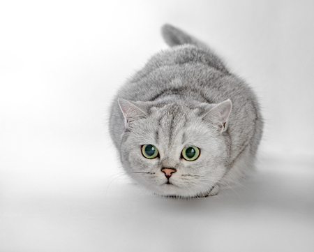 Gray British Shorthair. Portrait of British Shorthair cat lying on a gray background Stock fotó