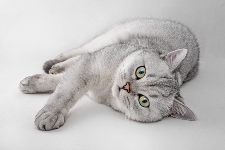 Portrait of Light Gray British Shorthair cat lying on a white background