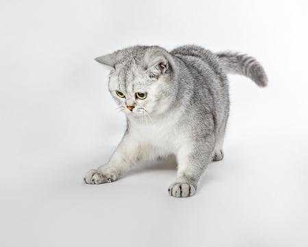 British Shorthair kitten is playing. Stock Photo