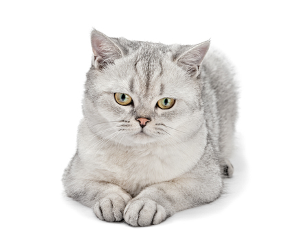 Portrait of Gray British Shorthair cat isolated on white background