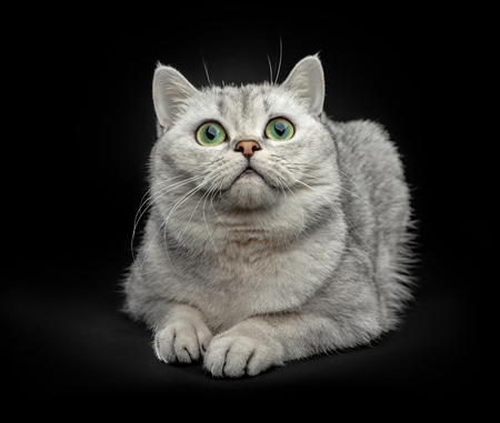 Portrait of Gray British shorthair cat with yellow eyes isolated on black background Stock fotó