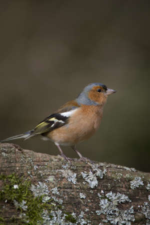 Chaffinch Fringilla coelebs photo