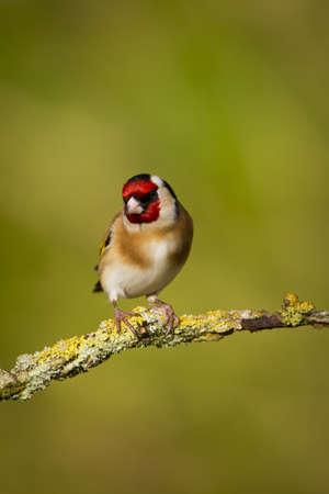 Goldfinch Carduelis carduelis photo