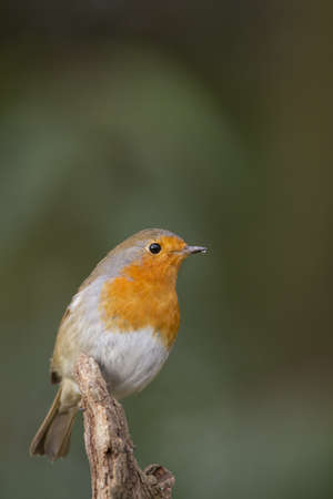 Robin Erithacus rubecula photo