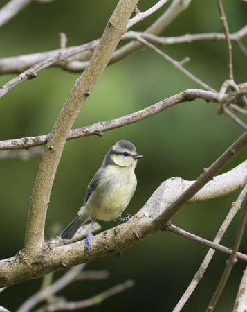 caeruleus: Juvenil Blue Tit Parus caeruleus posado en una rama en un jard�n suburbano