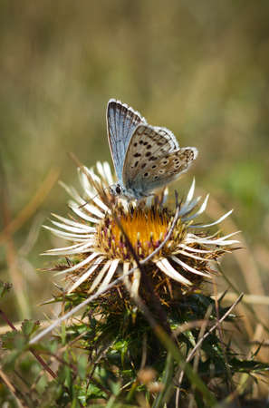 Chalkhill blue butterfly on Carline thistle photo