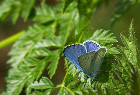 underwing: male Holly blue butterfly Celastrina argiolus