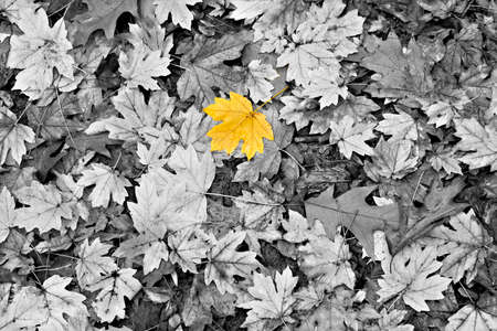 leaf water drop: Isolated yellow leaf among black and white autumn leaves