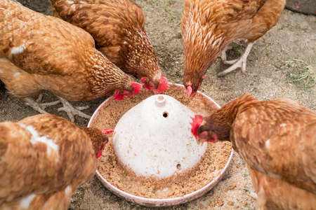 Several common chickens feeding on the ground